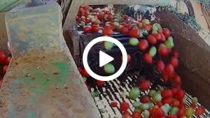 Cosecha Tomate Badajoz Extremadura España 2016